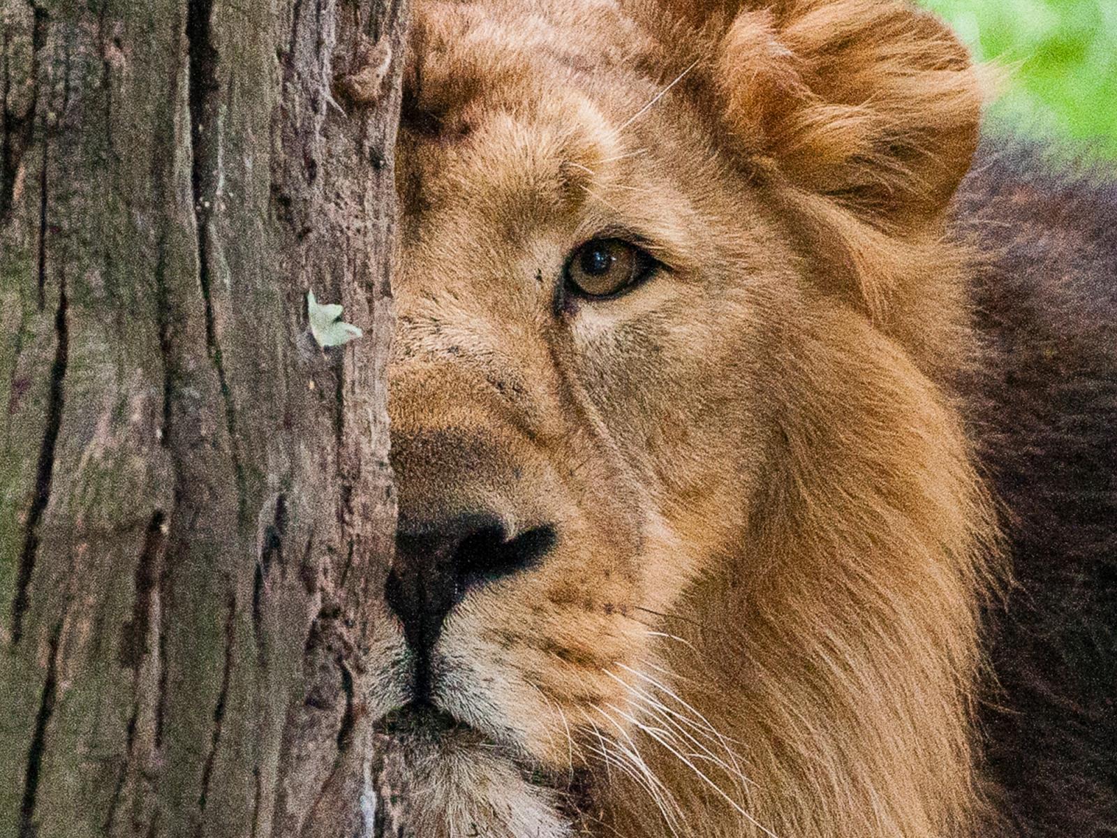 Londoner Zoo Lions